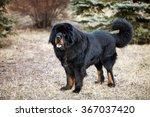 tibetan mastiff | Shutterstock . vector #367037420