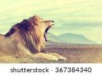 Wild African Lion. Vintage...
