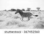 young zebra running | Shutterstock . vector #367452560