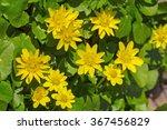 Lesser Celandine  Ranunculus...