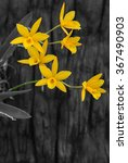 yellow orchids on the wood dark ...   Shutterstock . vector #367490903