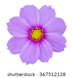 Blue Cosmos Flower Isolated On...