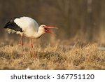 Birds   White Stork  Ciconia...