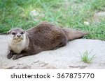 Oriental Small Clawed Otter ...