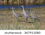 Three Sandhill Cranes At...