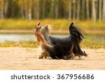 Yorkshire Terrier With Long...