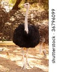 Front View Of A Ostrich.