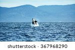 Stock photo orca breaching off vancouver island canada 367968290