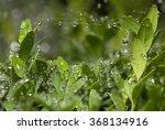 Rain Drops On Web And Boxtree...