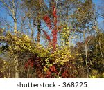Red ivy climbing a tree - stock photo