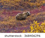 This Grizzly Bear In Denali...