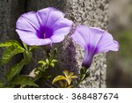 Close Up Purple Morning Glory...