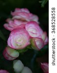 Sweet Two Tone Begonias Flower.