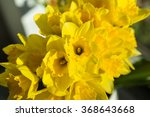 Small photo of April blooming Narcissi flowers arranged in vase for interior decoration Daffodil, yellow flower in the Amaryllidaceae amaryllis familiy. Used for fragrances, medicinal plant as traditional medicines