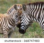 Stock photo zebra with a baby kenya tanzania national park serengeti maasai mara an excellent 368747483