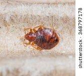 close up adult cimex hemipterus ... | Shutterstock . vector #368797178