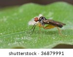 Small photo of Macro shot of a dance fly, Hybotidae