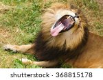 Male Lion Yawning Showing Off...