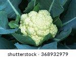 Cauliflower In Garden .organic...