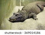 African dwarf crocodile The African dwarf crocodile is the smallest of the currently existing crocodile species, is widely distributed in freshwater bodies of West Africa.