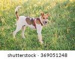 Fox Terrier Enjoying Summer