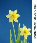 yellow jonquil on the blue...   Shutterstock . vector #369072503