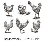 roosters  hens and chickens | Shutterstock . vector #369116444