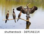 Cormorant Family In Romania