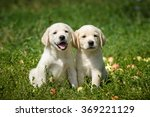 puppies of labrador retriever... | Shutterstock . vector #369221129