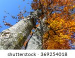 Two Autumn Trees Trunks In A...