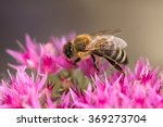 Honey Bee Gathering Pollen Fro...