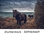 Shetland Ponies On The Coast...