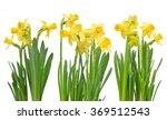 Narcissus Flowers Isolated On A ...