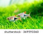 green aquarium  rasbora... | Shutterstock . vector #369593360