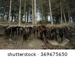Tree Roots In A Forest After...