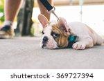 French Bulldog Refusing To Move