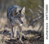 Small photo of Coyote walking through desert bushes.