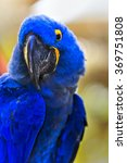 Close Up Of Hyacinth Macaw