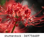 red spider lily amaryllis in... | Shutterstock . vector #369756689