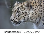 Portrait Persian Leopard ...