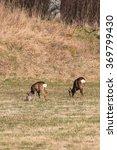 Two Roe Deer Grazing In A Fiel...