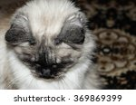 Seal Rag Doll Cat Color Point...