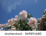 Flowering Oleander Bush Agains...
