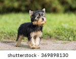 Puppy Yorkshire Terrier In The...