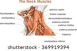 the neck muscles | Shutterstock .eps vector #369919394