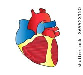 anatomy of the heart anterior... | Shutterstock . vector #369923150