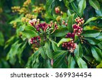 clove tree with blooming ... | Shutterstock . vector #369934454