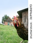 Small photo of A snoopy chicken on the farmland