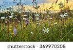 Old Wild Flower Hay Meadow In...
