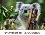 Koala At Lone Pine Koala...